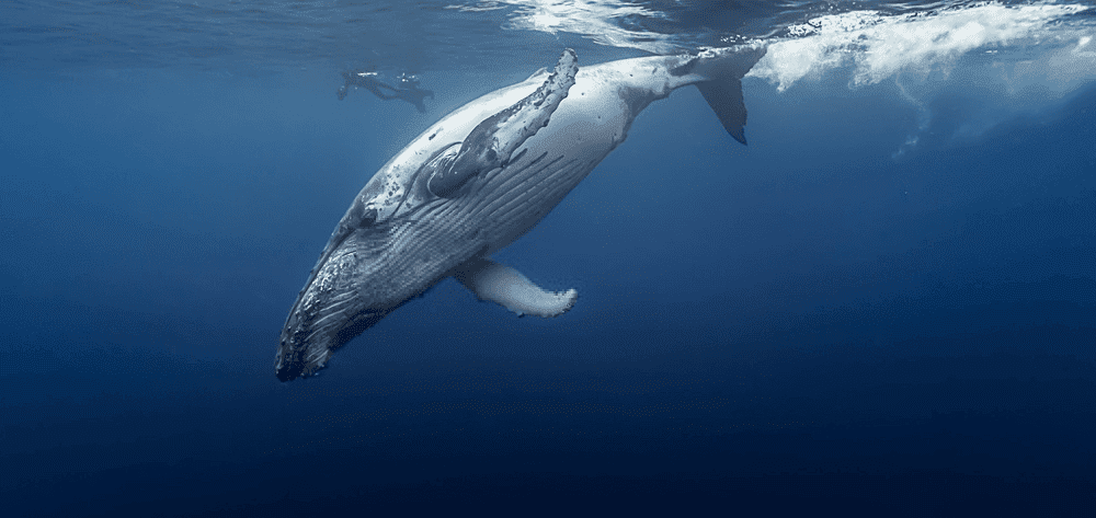 Whales The Wonders Of Nature